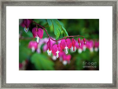 Beautiful  Bleeding Hearts Framed Print by Robert Bales