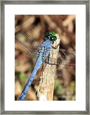 Beautiful Blue Eyes Framed Print by Carol Groenen