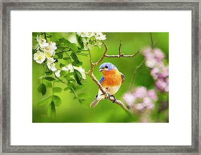 Beautiful Bluebird Framed Print by Christina Rollo