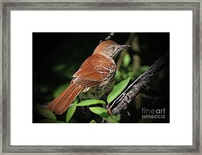 Beautiful Brown Thrasher Framed Print
