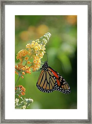 Beautiful Butterfly Framed Print by Karol Livote