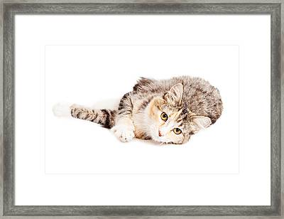Beautiful Calico Kitty Laying Looking Forward Framed Print by Susan Schmitz