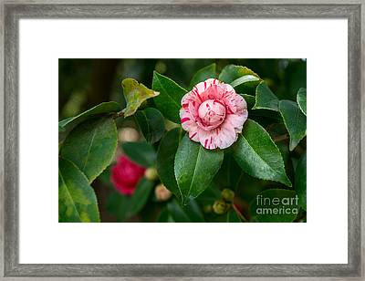 Beautiful Camellia Marischino Flower. Framed Print by Jamie Pham
