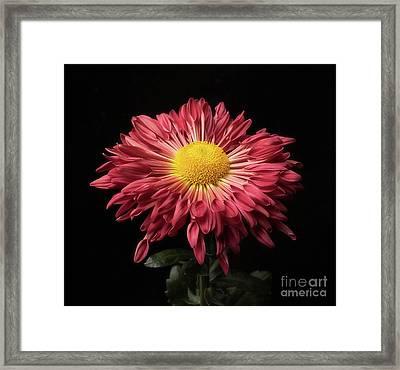 Beautiful Chrysanthemum Framed Print