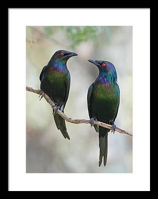 Starlings Framed Prints
