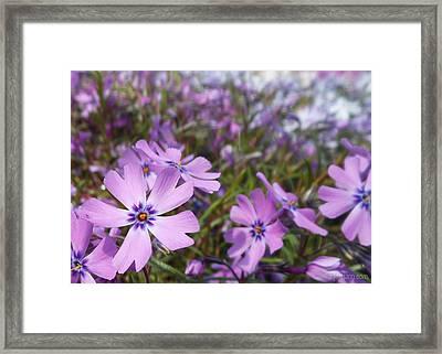 Beautiful Creeping Purple Phlox Framed Print