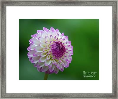 Beautiful Dahlia 1 Framed Print