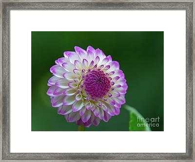 Beautiful Dahlia 2 Framed Print