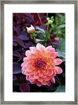 Beautiful Dahlia Framed Print