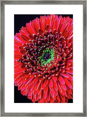 Beautiful Details Of Gerbera Daisy Framed Print by Garry Gay