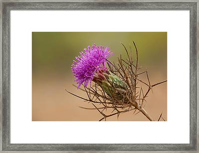 Beautiful Distaff-thistle Framed Print by Yuri Peress