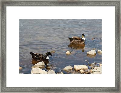 Beautiful Ducks Framed Print