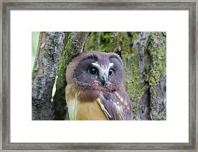 Beautiful Eyes Of A Saw-whet Owl Chick Framed Print