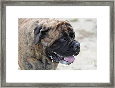 Beautiful Face Of A Big Bullmastiff Framed Print