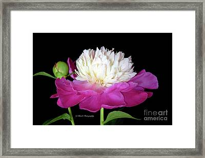 Beautiful Fancy Peony Framed Print by Jeannie Rhode