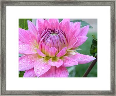 Beautiful Flower In Daybreak Framed Print
