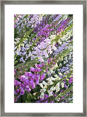 Beautiful Foxglove Framed Print by Carol Groenen