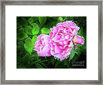 Beautiful Garden Peony Framed Print by Patricia L Davidson