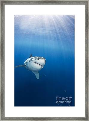 Beautiful Great White Framed Print