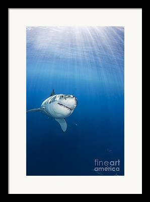 Great White Framed Prints