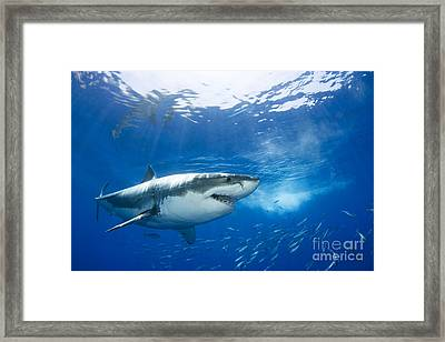 Beautiful Great White Shark Framed Print by Dave Fleetham - Printscapes