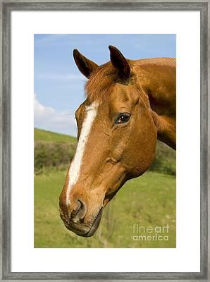 Beautiful Horse Portrait Framed Print by Meirion Matthias