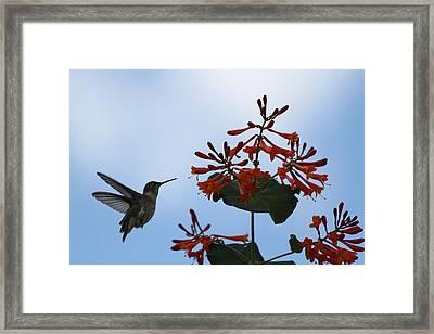 Beautiful Hummingbird Framed Print by Cinneidi Comfort