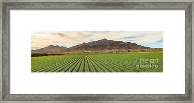 Beautiful Lettuce Field Framed Print