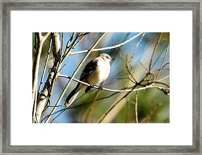 Beautiful Mockingbird Framed Print by Teresa Blanton