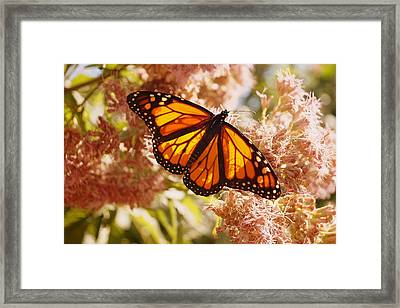 Beautiful Monarch Framed Print by Beth Collins