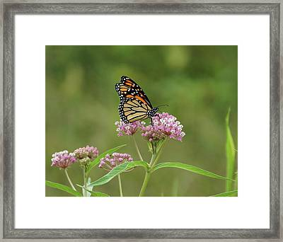 Beautiful Monarch Framed Print
