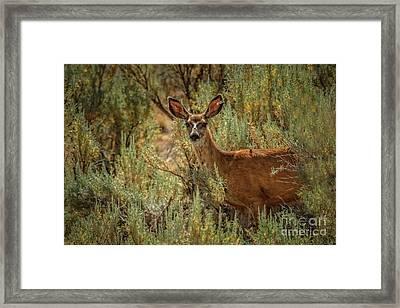 Beautiful Mule Doe Framed Print by Robert Bales
