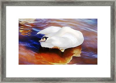 Beautiful Mute Swan Grooming In Shallow Water - Digitalart Framed Print by Roy Williams