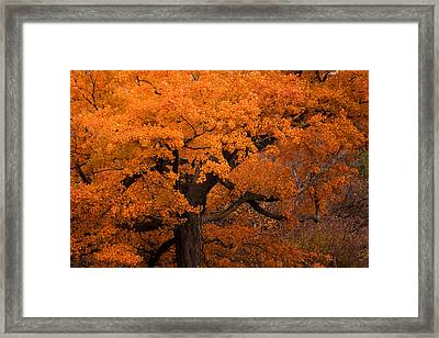 Beautiful Orange Tree On A Fall Day Framed Print