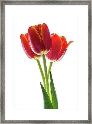 Beautiful Orange Tulips On White Framed Print by Vishwanath Bhat