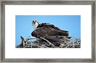 Beautiful Osprey Framed Print