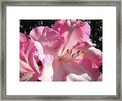 Beautiful Pastel Pink Rhododendron Flowers Baslee Troutman Framed Print