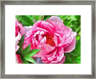 Beautiful Peony Flower 1 Framed Print by Lanjee Chee