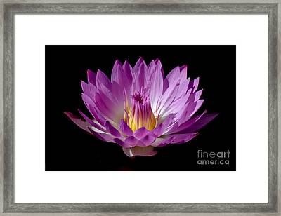 Beautiful Pink Pearl Lily Framed Print