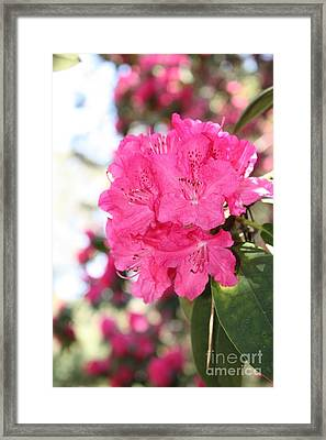 Beautiful Pink Rhododendron Framed Print by Carol Groenen