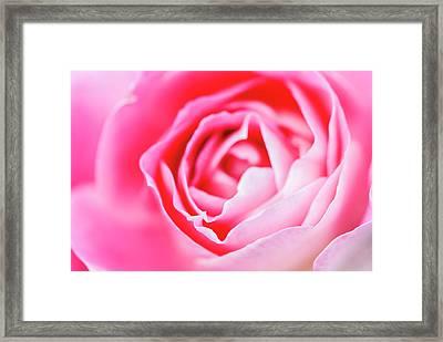 Beautiful Pink Rose Closeup Framed Print by Vishwanath Bhat