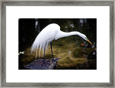 Beautiful Plumage Framed Print
