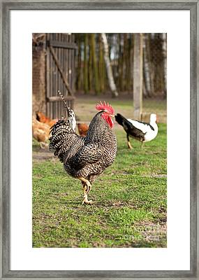 Beautiful Plymouth Rock Chicken Framed Print by Arletta Cwalina