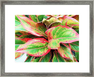 Framed Print featuring the photograph Beautiful Red Aglaonema by Ray Shrewsberry