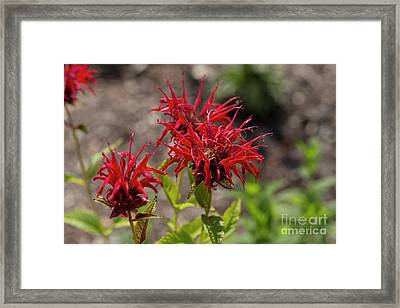 Beautiful Red Bee Balm Jacob Cline Framed Print by Louise Heusinkveld