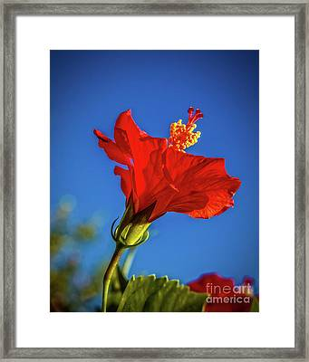 Beautiful Red Hibiscus Framed Print by Robert Bales