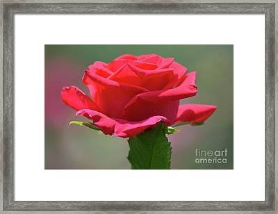 Beautiful Red Rose 2 Framed Print by Ruth Housley