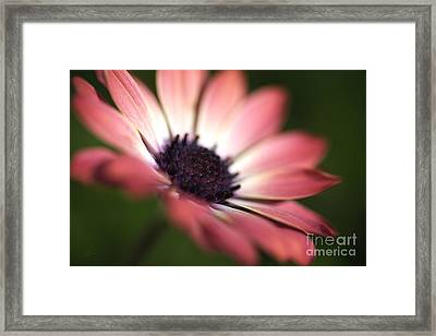 Beautiful Rich African Daisy Zion Red Flower Framed Print