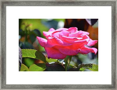 Beautiful Rose 3 Framed Print by Ruth Housley