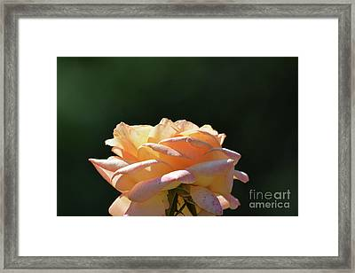 Beautiful Rose 4 Framed Print by Ruth Housley